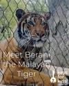 Meet Berani the Malayan Tiger!