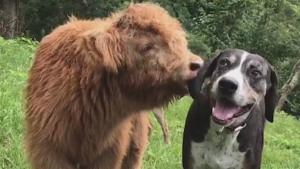 This Cow Thinks He's Dog