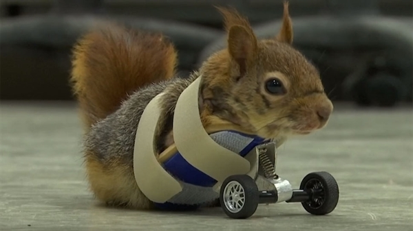 The Squirrel with Bionic Legs