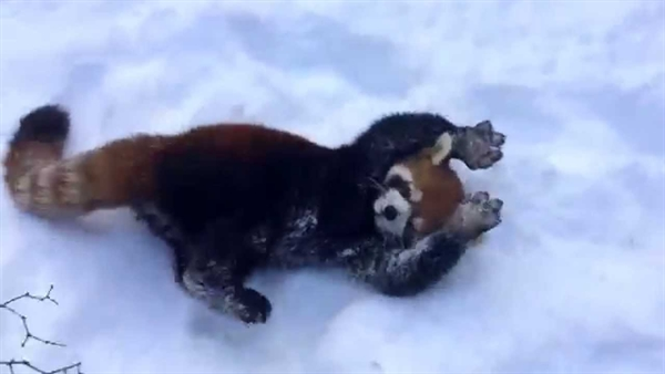 Red Pandas Playing in the Snow!