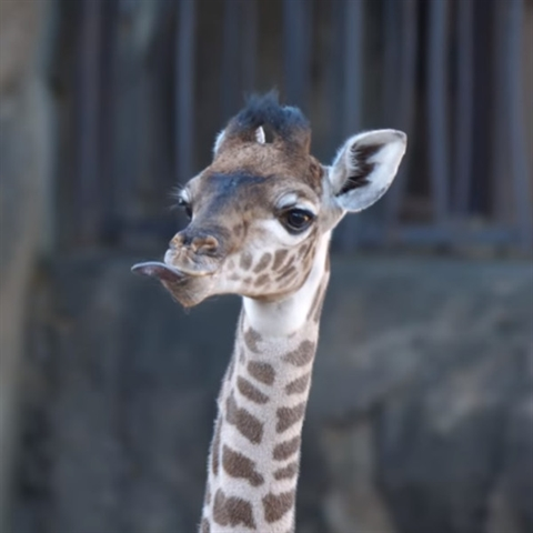 Meet the New Baby Giraffe Named Mara
