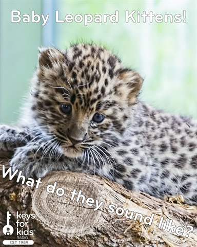 Baby Leopard Kittens: What do they SOUND like?