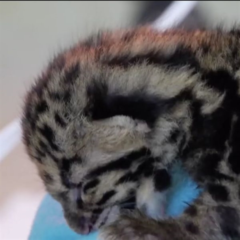 How to Feed Baby Leopard Cubs <3