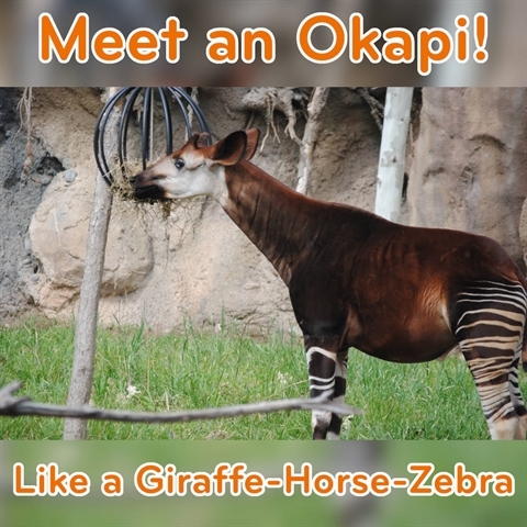Meet the Miracle Okapi!