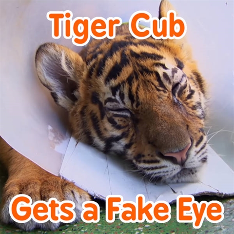 (Almost) Blind Tiger Gets a Fake Eye