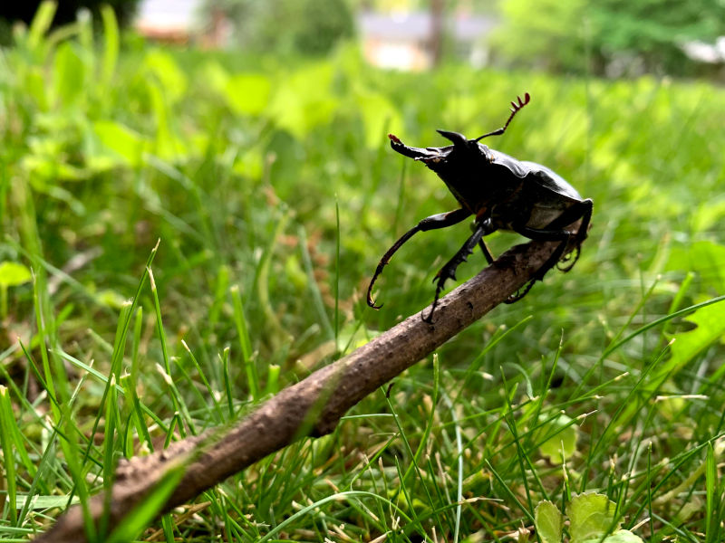 A large beetle is held up on a stick against green grass